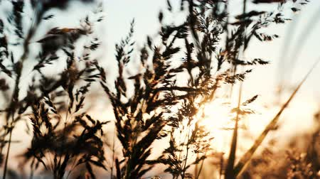 shaking wind : Grass shaking in the sun at sunset close-up against a clear sky background Stock Footage