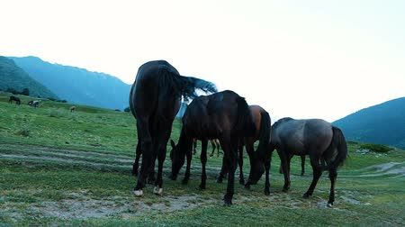 kept : Herd of horses is grazing in the fields near the road in the mountains. Horses chew the grass, camera movement