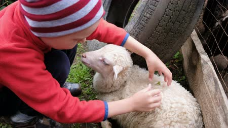 breeding season : Little boy decorates a lamb with a flower, a child hugs with a sheep on a farm Stock Footage