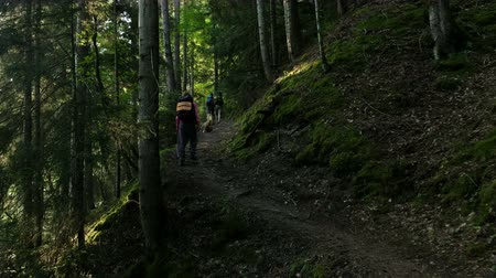 ascension : Tourists with backpacks climb the forest trail at dawn in the morning in the summer, pukhodniki walk through the national park. Woman with a dog make the ascent Vidéos Libres De Droits