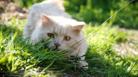 szénaboglya : Beige country cat predator hunts in the grass, gets ready and jumps in the sun, slow motion