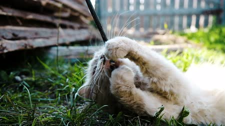 animal paws : Beautiful cat lies in the grass and gnaws a stick close-up, slow motion