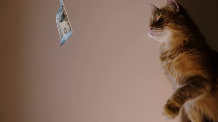 dolar : Ginger cat catches dollar, desire for wealth Stok Video