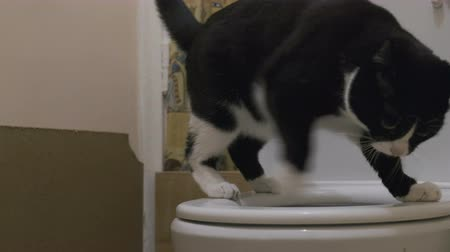 litter box : Clever domestic cat uses a toilet bowl