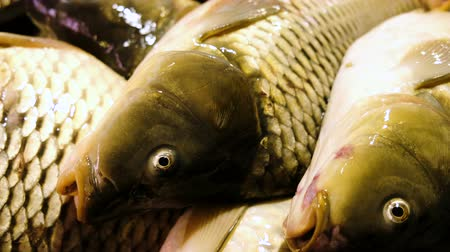 sempre viva : Live carp lie on the counter of the store and breathe gills, close-up