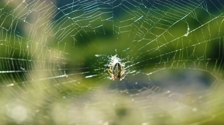pókháló : Cross spider araneus sits in the center of the web on a sunny day in nature in summer.