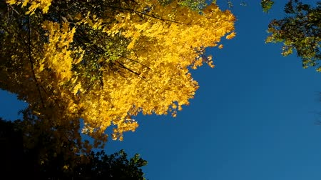 camera rotation : Yellow maple in autumn on a blue sky, camera rotation, slow motion copy space