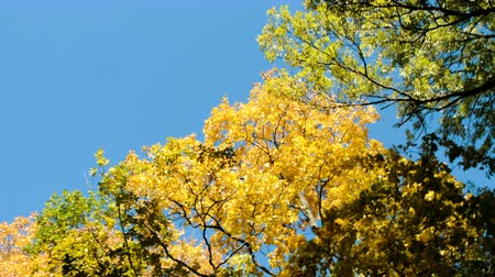 camera rotation : Yellow trees in the autumn forest against the blue sky, camera movement and copy space Stock Footage