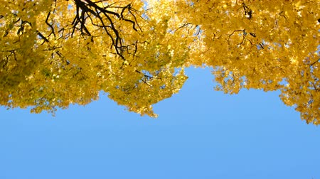 camera rotation : Yellow trees maple in the autumn forest against the blue sky, camera movement and copy space Stock Footage