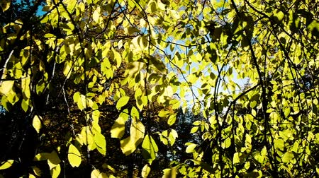 brisa : Suns rays shine through aspen branches in the fall, camera movement, slow motion