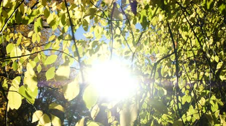 osika : Suns rays shine through aspen branches in the fall close-up, camera movement Dostupné videozáznamy