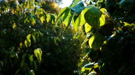 warms : Drop of dew on a green leaf. Leaves glow in the sun. Rays at dawn after rain