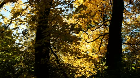 osika : Sun shines through the autumn forest, camera movement