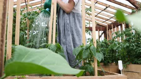 abobrinha : Girl in a dress is watering a watering crop in a greenhouse close-up, water is pouring