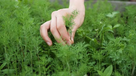 plucks : Girl plucks dill from the garden with her hand close up Stock Footage