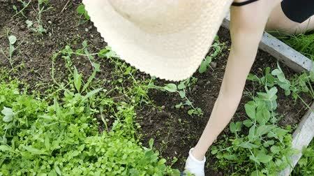 weeding : Woman in a hat and gloves works on a farm - removes weeds from the garden, weeds peas