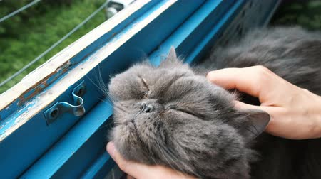 cutting open : woman scratches to a Persian cat on the balcony, a contented pet closes his eyes from pleasure. Stock Footage