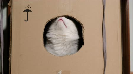 cheirando : White cat sniffs a cardboard box with a hole