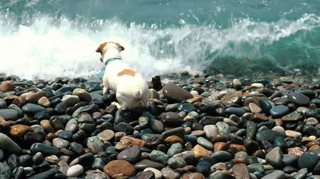 jack russel terrier : Curious dog Jack Russell Terrier runs away from large sea waves on a pebble beach, slow motion