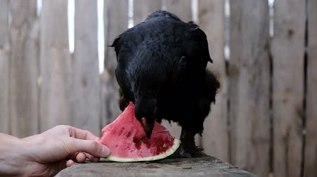 klín : Black chicken pecks watermelon on the farm, slow motion