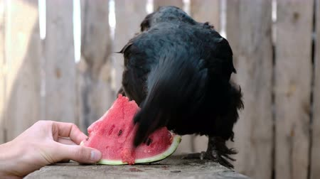 csaj : Black chicken pecks watermelon on the farm