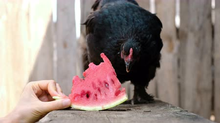 klín : Black chicken pecks watermelon from the hand of a man on a farm in nature
