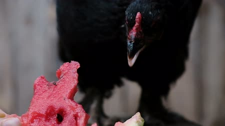 greedily : Slow motion black chicken pecks watermelon on the farm close-up