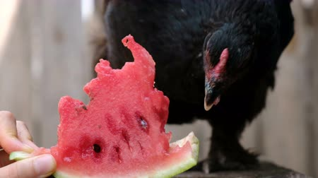 klín : Black chicken pecks watermelon from the hand of a man on a farm in nature close-up Dostupné videozáznamy