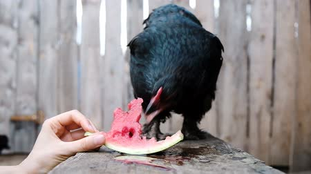 klín : Slow motion black chicken greedily pecks watermelon on a farm from a woman hand close-up