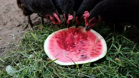 петух : Hungry chickens and roosters eat watermelon close up on nature in summer, slow motion