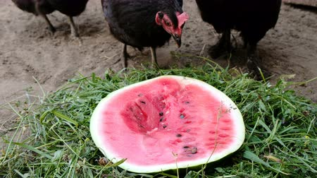 петух : Curious hungry hens eating watermelon close up, slow motion