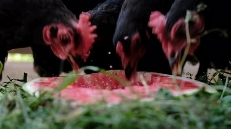 bird eggs : Chickens with red tufts pecking watermelon outdoors, slow motion Stock Footage
