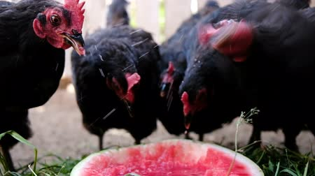 петух : Flock of chickens pecks watermelon on the farm, birds eat berries close-up slow motion