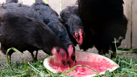 петух : Chickens pecks watermelon on the farm, black birds eat berries outdoors