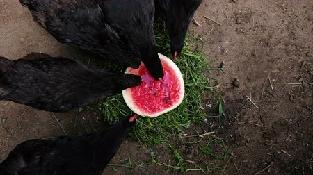 петух : Black chickens pecks watermelon on the farm, birds eat berries outdoors top view, slow motion Стоковые видеозаписи