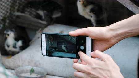 feathered : Woman photographs a chicken on a smartphone