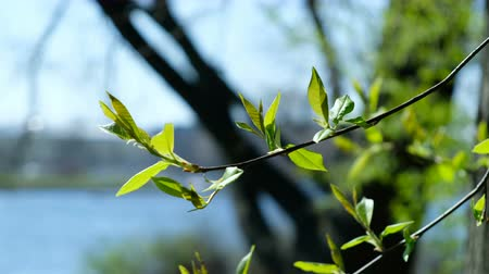 éveil : Branch of bird cherry with green leaves sways, spring bloom