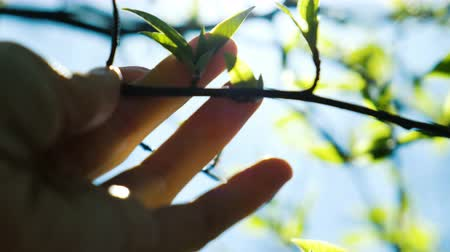 ébredés : A female hand touches a branch with its blossoming buds, gently touches a tree close up Stock mozgókép