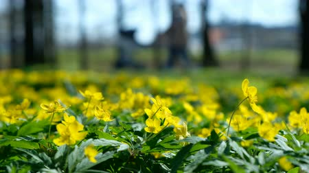 blindness : Yellow flowers buttercup caustic in spring in the park amid a blurred family on a sunny day Stock Footage
