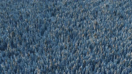 snowy background : Aerial flyover frozen snowy spruce forest