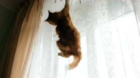 Ginger cat hung on the curtains and falls down