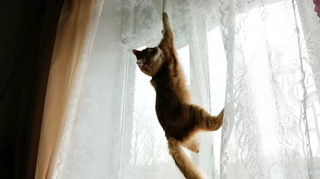 Red cat hung on the curtains and jumps down slow motion