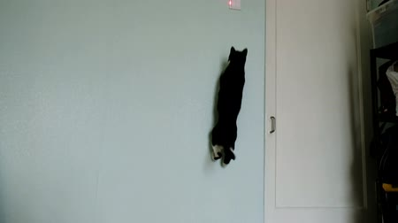 animal paws : Black cat jumps on the wall behind the laser pointer - funny pet jumps high slow motion Stock Footage