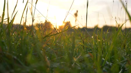 harmatcsepp : fresh morning grass with dew in the sunrise slow motion Stock mozgókép