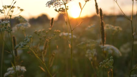 grassen : wildflowers at sunset in the countryside slow motion