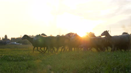 domy : flock of sheep and rams runs home through the grass against a sunset in summer