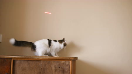 hind : funny cat catches a laser pointer on the wall