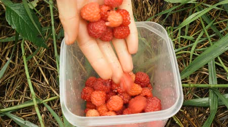 eklemek : raspberries lie in plastic jar on green grass close view