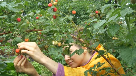 raincoat : brunette sits and picks raspberries in garden slow motion Stock Footage
