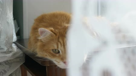 suíças : Red domestic cat lying on the table by the window behind the curtains